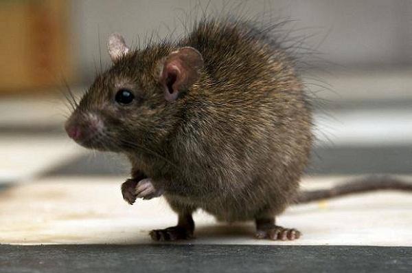 rats removal Brisbane